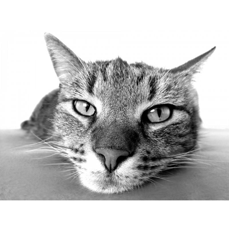 Un chat adulte