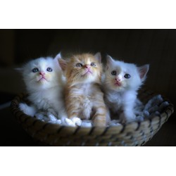 D\'adorables chatons de race