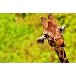 girafe regarde avec fond vert