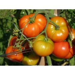 Tomates du potager