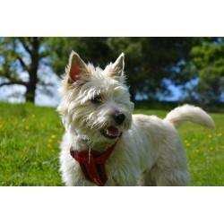 Fiche informative sur la race de chien Cairn Terrier