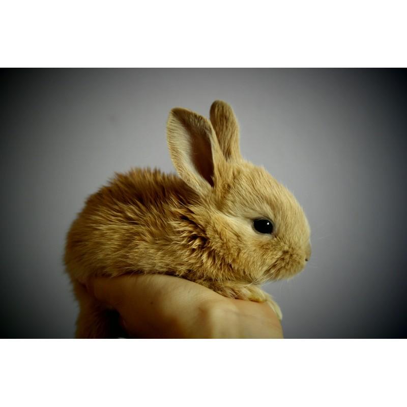 NAC - Petit lapin