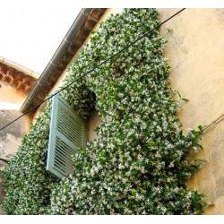 Le Jasmin étoilé: une plante grimpante et parfumée pour votre pergola