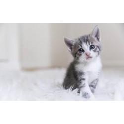 Pourquoi adopter un chat ? Et quelles sont les races les plus choisies ?