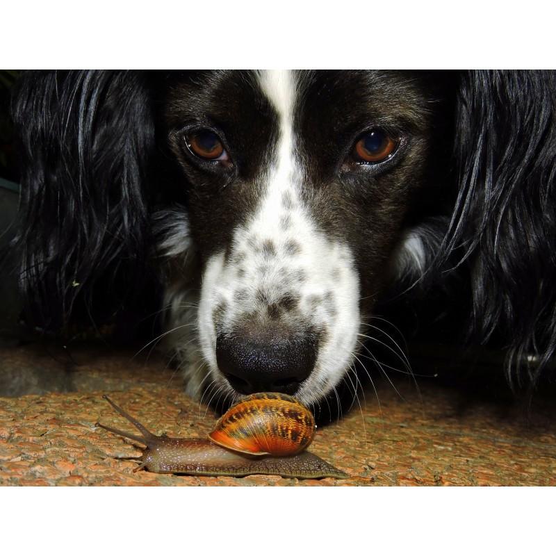 chien reniflant un escargot