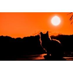 Chat en ombres chinoises regardant un coucher de soleil