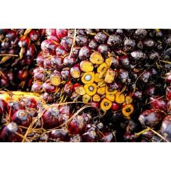 des fruits du palmier à huile